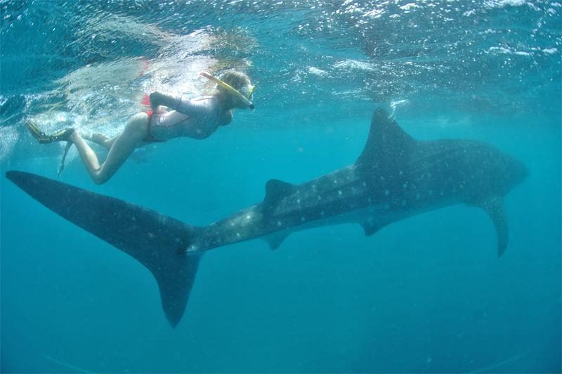 Elischeba Wilde schnorchelt mit einem Walhai