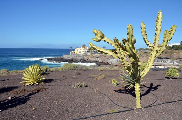 Kaktus auf Teneriffa