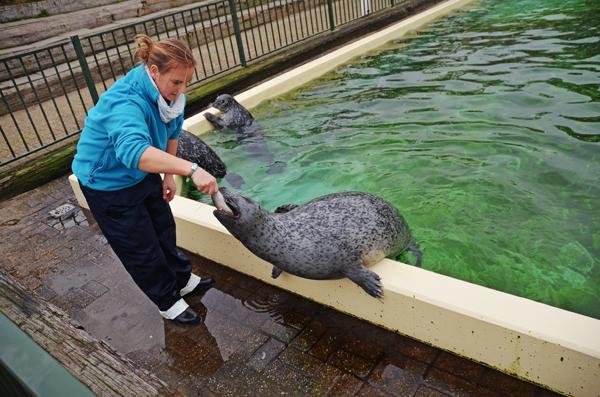 Seelöwe Fütterung