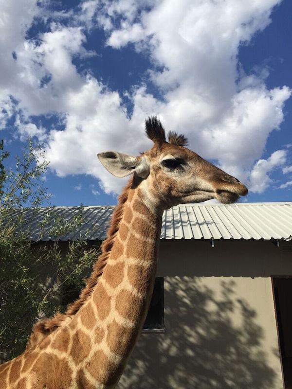 giraffeafrika